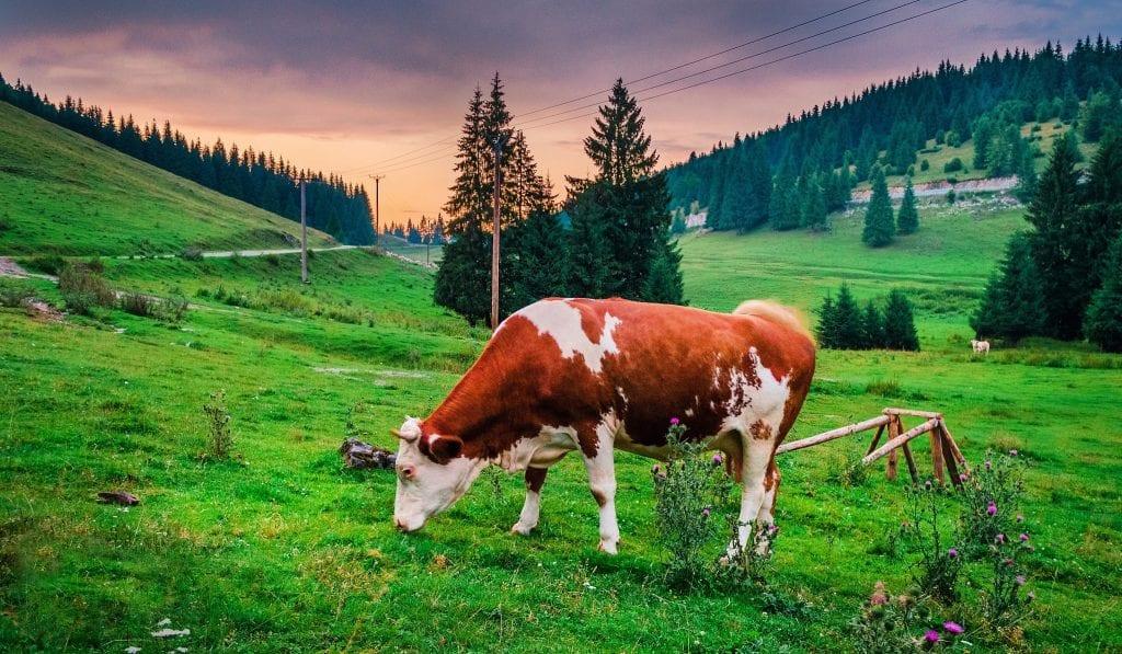 cattle grazing on grass